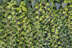 Green ivy background texture. Photo Royalty Free Stock Photos