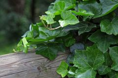 Green ivy on old tree royalty free stock photography