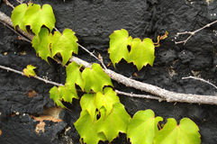 Green ivy on black Stock Images