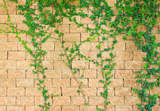 Green ivy on the brick wall Stock Photos