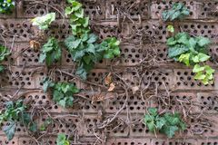 Green ivy on brick wall. Climbing plant Royalty Free Stock Photography
