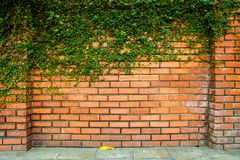 Green ivy on the brick wall Royalty Free Stock Image