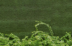 Green ivy bush. Against wall of green grass Stock Image