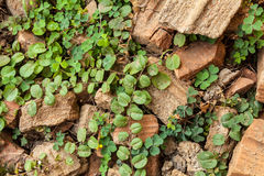 The green ivy Royalty Free Stock Images