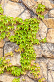 Green Ivy climb on brown brick wall, exterior decoration. Royalty Free Stock Photo