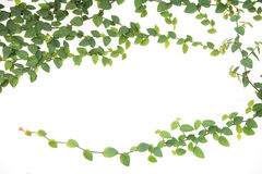 Green ivy climbing fig isolated Stock Images