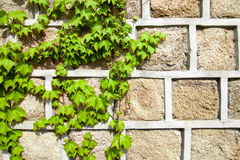 Green ivy climbing a stone wall Stock Photography