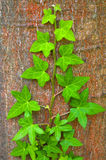 Green ivy climbing up tree trunk Stock Images