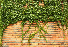 Green ivy cloaked old red brick wall Stock Photography