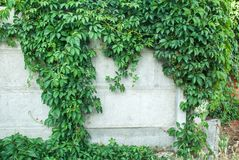 Green ivy covered wall as background image stock photography