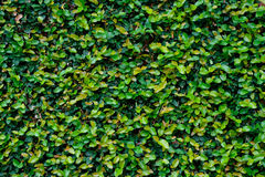 Green ivy covered wall as background image Royalty Free Stock Photo