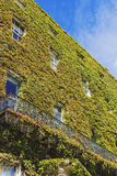Green ivy covering the facade of a building in Dublin city centr. DUBLIN, IRELAND - 10th June, 2017: detail of the green ivy covering the facade of a building in Stock Photography