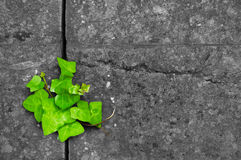 Green ivy in cracked stone background. Ivy growing out of crack in a granite stone wall Royalty Free Stock Photo