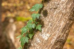 Green ivy crawling on the tree trunk stock photography