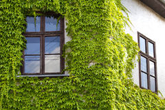 The green ivy curls round a window Stock Photography