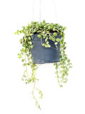 Green ivy in flowerpot isolated on a white background Stock Image