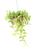 Green ivy in flowerpot isolated on a white background Royalty Free Stock Images