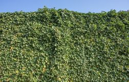 Green Ivy Foliage Hedera Helix On A Wall Stock Photography