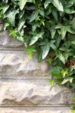 Green ivy on gray stone wall as background Stock Image