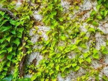 Green Ivy Royalty Free Stock Photo