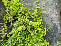 Green ivy on a grey stone. Stock Image