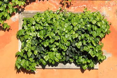 Green ivy growing Royalty Free Stock Photos