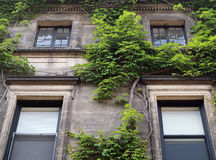 Green ivy growing on a apartment building Royalty Free Stock Photos
