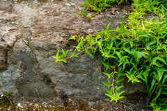 Green ivy growing on rocks Stock Photo