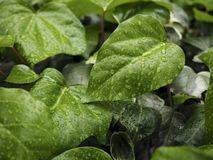 Green ivy Hedera Royalty Free Stock Photos