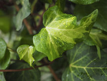 Green ivy Hedera Royalty Free Stock Photo