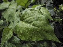Green ivy Hedera with glossy leaves Royalty Free Stock Photography