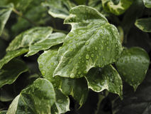 Green ivy Hedera with glossy leaves Royalty Free Stock Photo