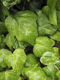 Green ivy Hedera Stock Images