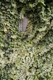 Green ivy at a house wall with window Stock Images