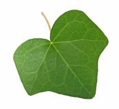 Green ivy leaf Royalty Free Stock Photography