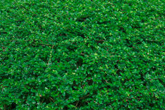 Green ivy leaves background Royalty Free Stock Image