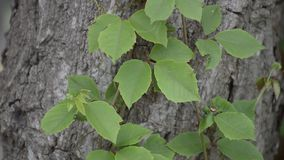 Green ivy leaves. On dry bark tree stock footage
