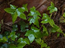 green ivy leaves on dry tree bark in the garden, top of view royalty free stock images