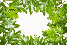 Green ivy leaves frame. On white Stock Image