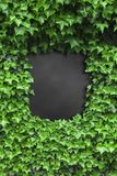 Green Ivy leaves frame Royalty Free Stock Image
