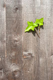 Green ivy leaves growing from a wooden garden fence Royalty Free Stock Photo