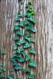 Green ivy leaves on tree bark. Background Royalty Free Stock Photography