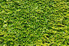 Green ivy leaves wall Stock Photos