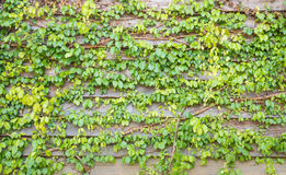 Green ivy leaves on the wooden wall background texture Stock Images
