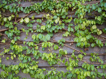 Green ivy leaves on the wooden wall background texture Royalty Free Stock Photos