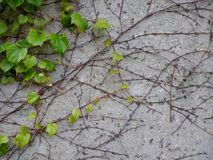 Innovative new solutions. Green ivy looking for good conditions Royalty Free Stock Image