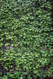 Green ivy on metal gate. Stock Image