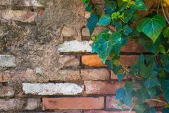 Green leaves of ivy on the old brick wall stock image