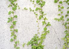 Green ivy on old grunge paper texture Royalty Free Stock Photos