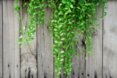 Green ivy on old wood Royalty Free Stock Image